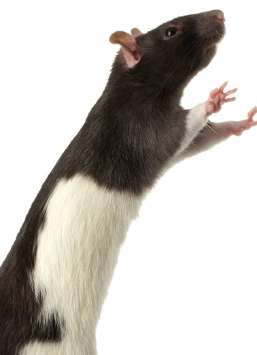 Mit den Ratten – oder genauer gesagt mit ihren Parasiten den Rattenflöhen – verbreitete sich die Pest. | © istockphoto.com/Antagain