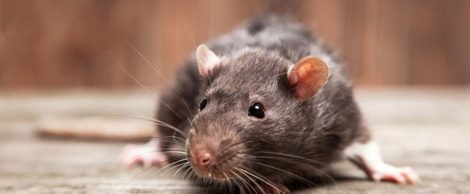 Braune Ratte