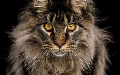 Das Geheimnis der Wikinger-Katzen